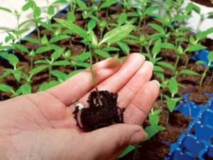 Выкапывание растения с корнем для гербария